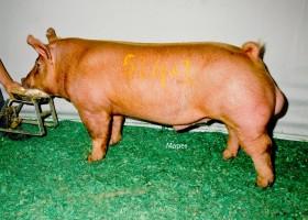 Grand Champion Tamworth Boar, Sugar Creek Genetics