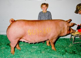 Champion Bred Tamworth Gilt, Clint High Farms