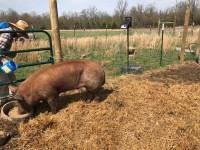 Registered Tamworth Boar- 1 year