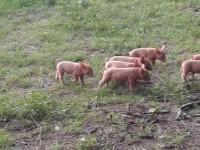 Beautiful Tamworth pigs for sale